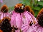 echinacea_purpurea_53d